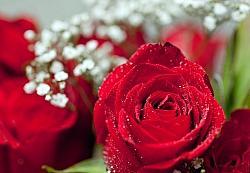 Rote Rosen sind ein Zeichen für Verlangen, Begierde und Leidenschaft - Quelle: Robert Couse-Baker / flickr / cc by 2.0