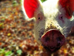 Schweinisch: Das arme Tier wird gründlich missverstanden... - Quelle: rcferdin / flickr / cc by-nd 2.0